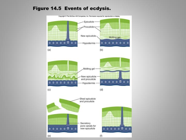 Figure 14.5  Events of ecdysis.
