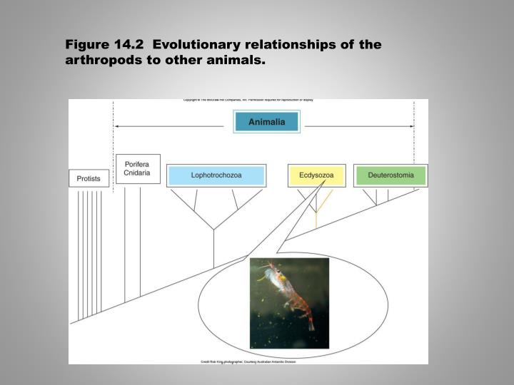 Figure 14.2  Evolutionary relationships of the arthropods to other animals.