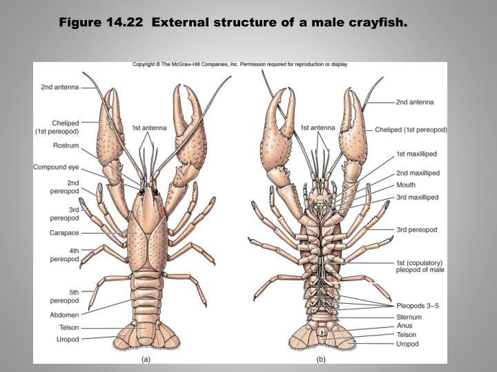 Figure 14.22  External structure of a male crayfish.