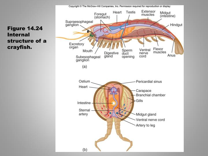 Figure 14.24  Internal structure of a crayfish.