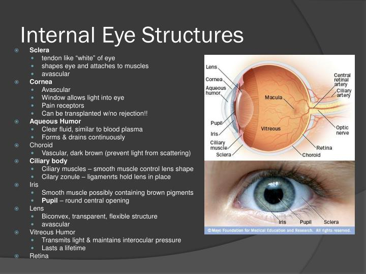 Internal Eye Structures