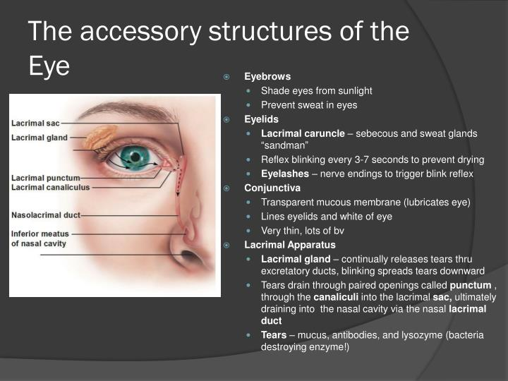The accessory structures of the eye