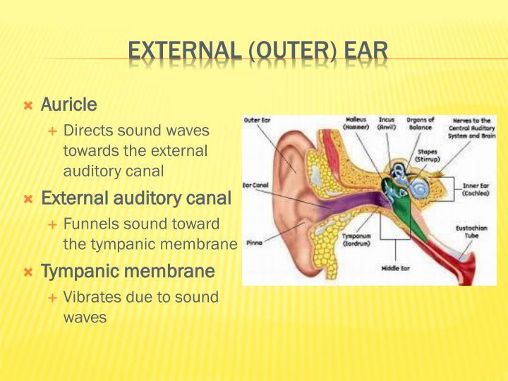 External (outer) Ear