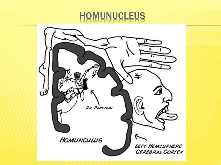 Homunucleus