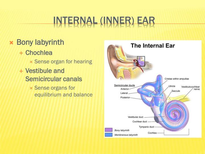 Internal (inner) ear