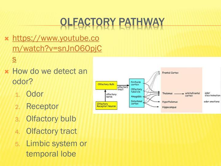 Olfactory Pathway