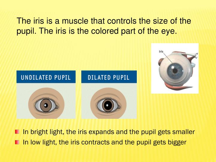 The iris is a muscle that controls the size of the pupil. The iris is the colored part of the eye.