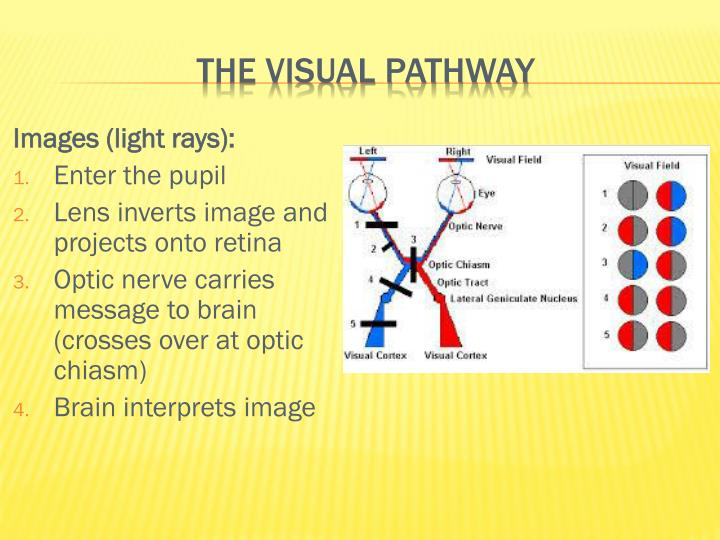 The visual pathway