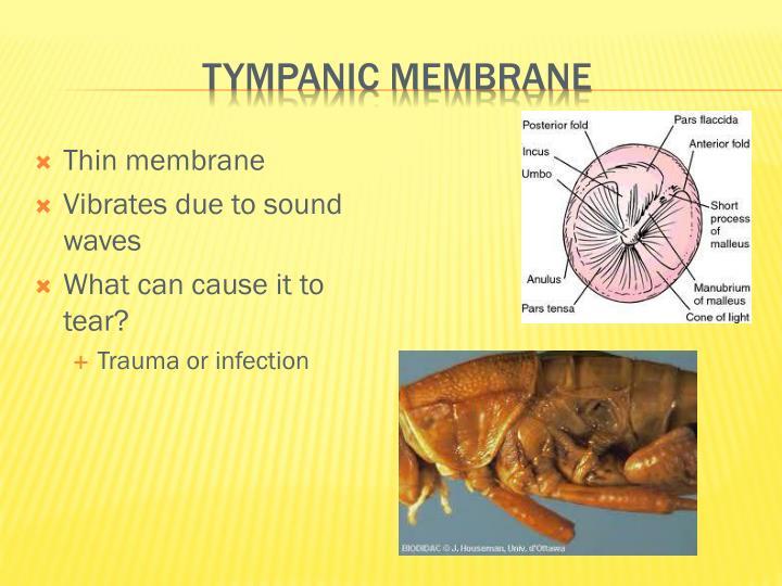Tympanic membrane