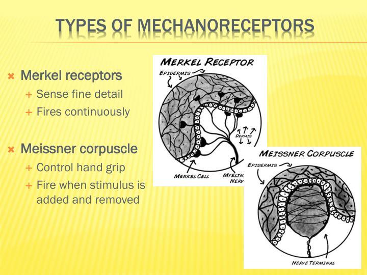 Types of mechanoreceptors