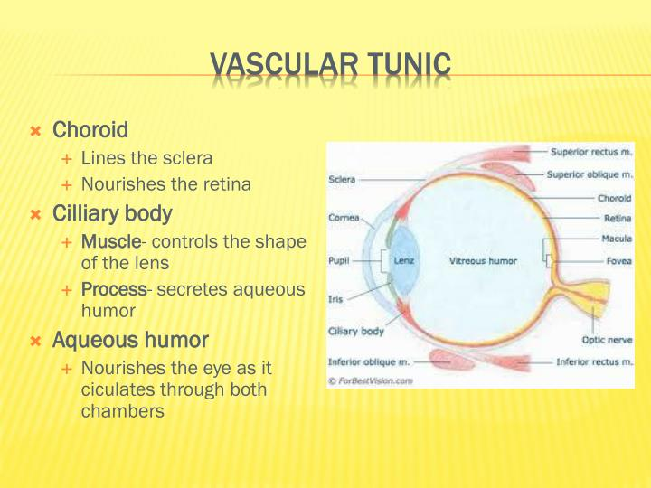 Vascular Tunic