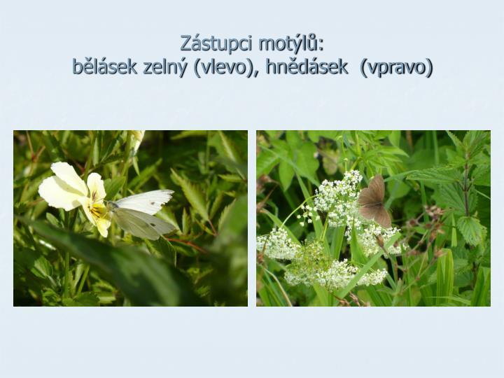 Zástupci motýlů: