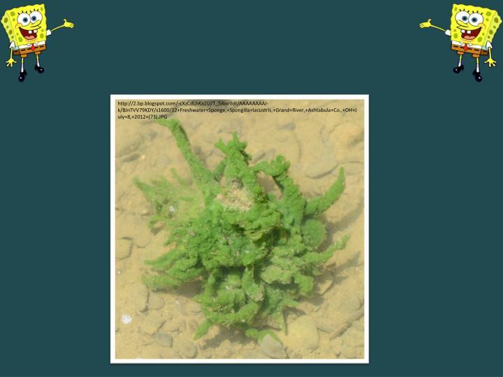 http://2.bp.blogspot.com/-cXzCdLhKa2U/T_5AixrlIdI/AAAAAAAAJ-k/8JnTVV79KDY/s1600/12+Freshwater+Sponge,+Spongilla+lacustris,+Grand+River,+Ashtabula+Co.,+OH+July+8,+2012+(73).JPG