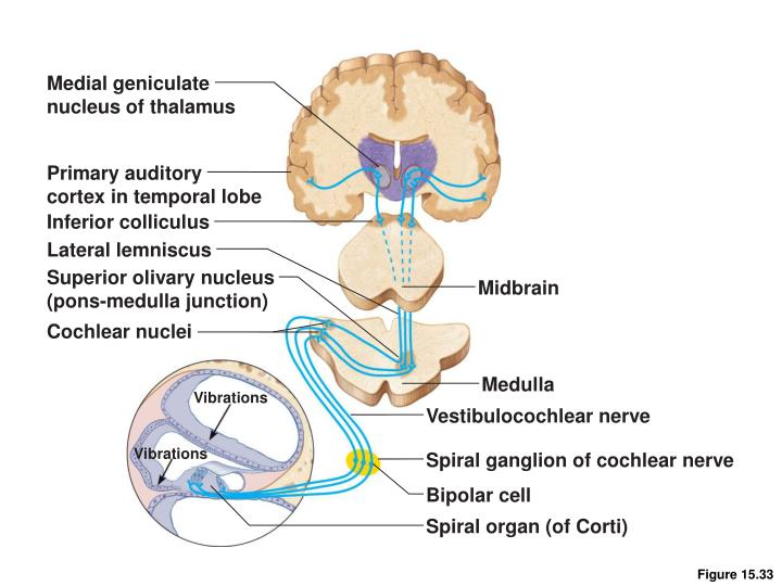 Medial geniculate