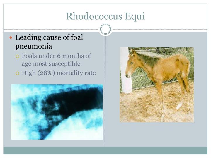 Rhodococcus