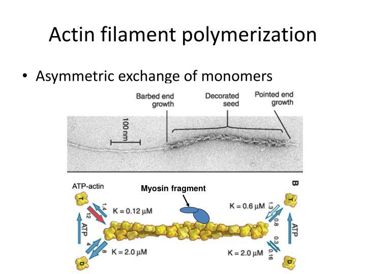 Actin filament polymerization