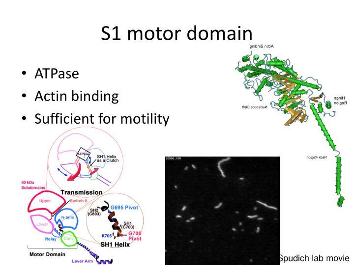 S1 motor domain