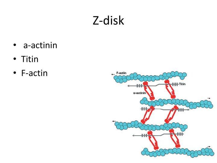 Z-disk