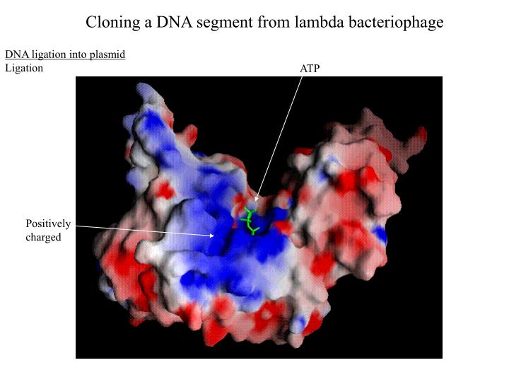 Cloning a DNA segment from lambda bacteriophage