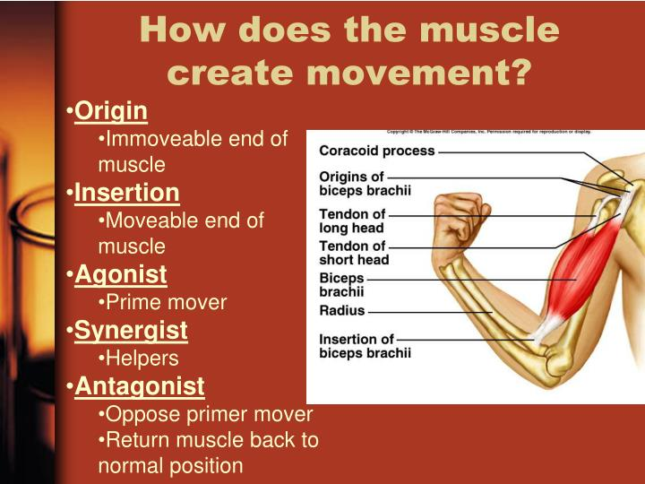 How does the muscle create movement?