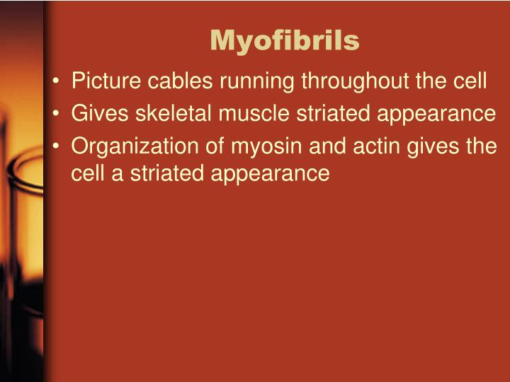 Myofibrils