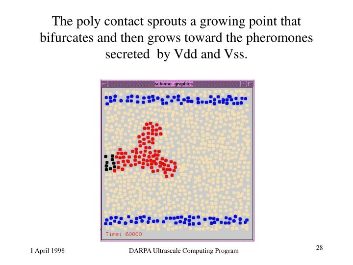 The poly contact sprouts a growing point that bifurcates and then grows toward the pheromones secreted  by Vdd and Vss.