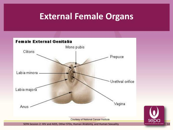 External Female Organs