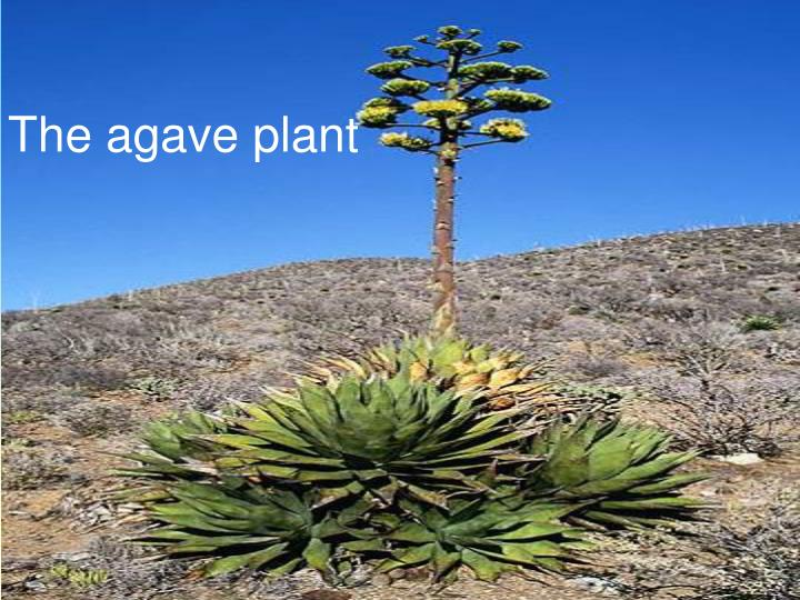 The agave plant