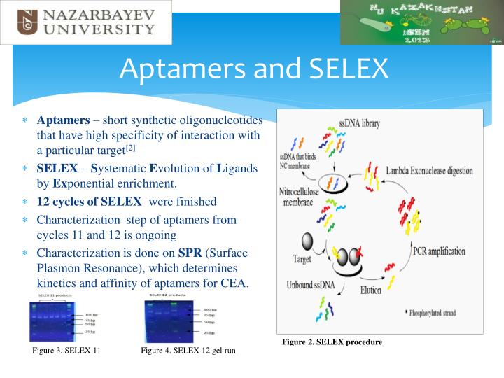 Aptamers and selex