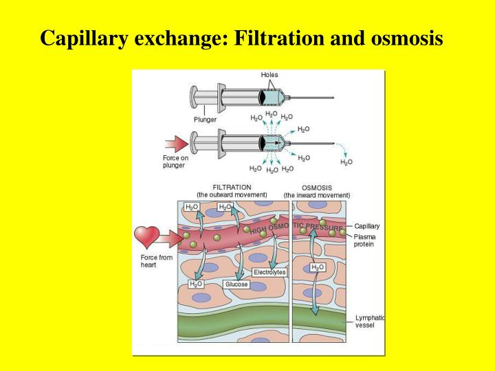 Capillary exchange: Filtration and osmosis