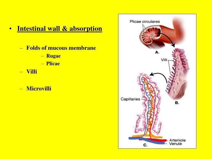 Intestinal wall & absorption