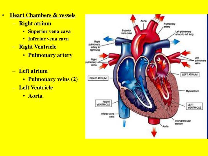 Heart Chambers & vessels