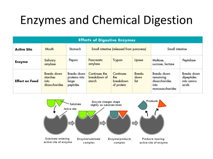 similiar mechanical and chemical digestion powerpoint keywords, Cephalic Vein