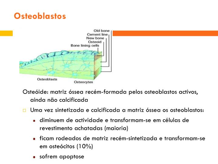 Osteoblastos