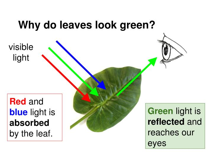 Why do leaves look green?
