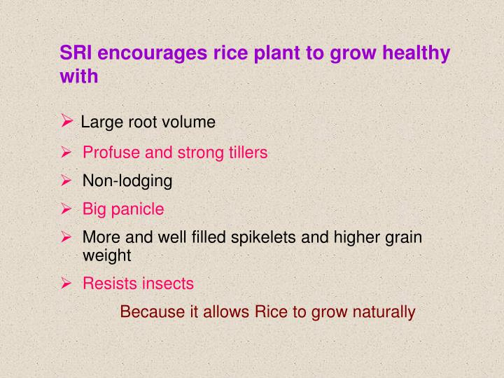 SRI encourages rice plant to grow healthy with