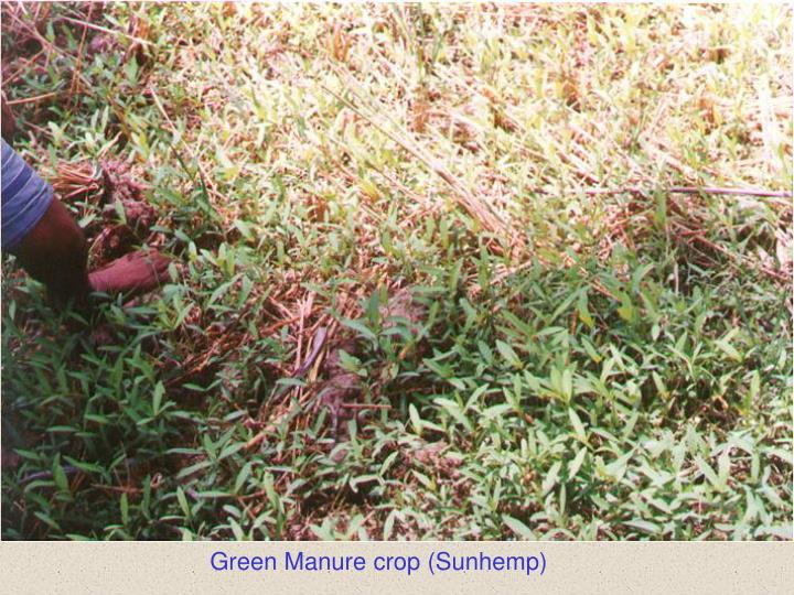 Green Manure crop (Sunhemp)