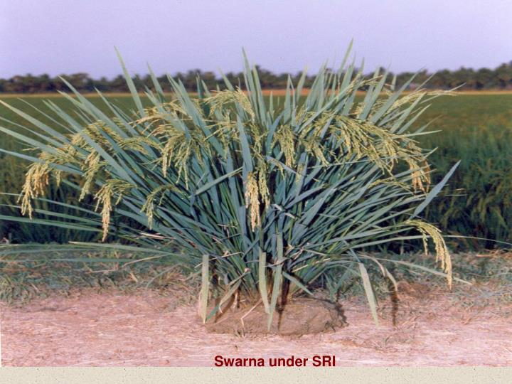 Swarna under SRI