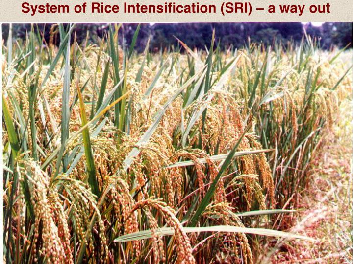 System of Rice Intensification (SRI) – a way out