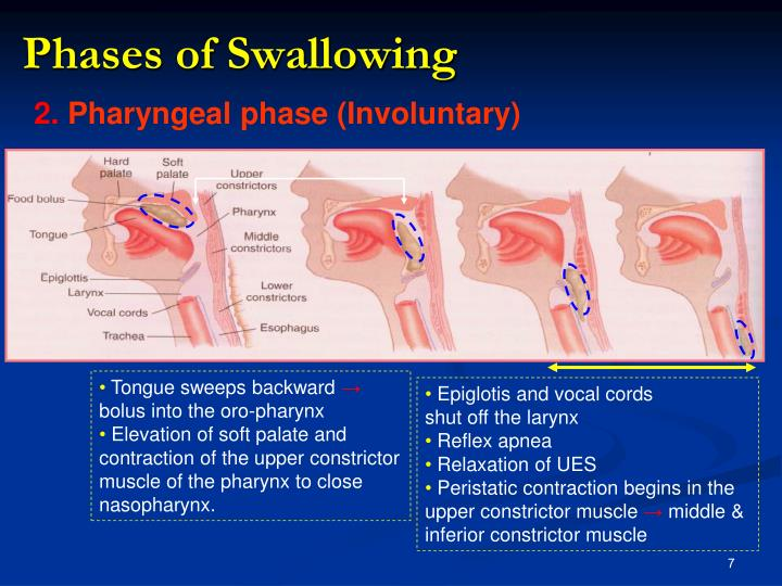 Phases of Swallowing