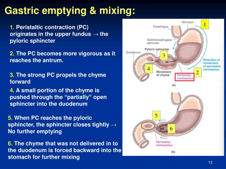 Gastric emptying & mixing: