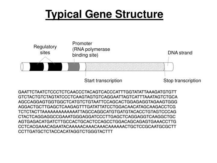 Typical Gene Structure