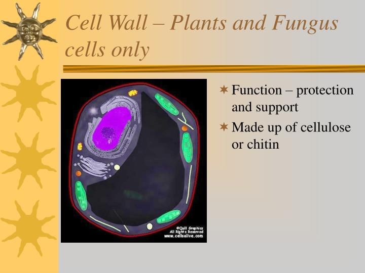 Cell Wall – Plants and Fungus cells only