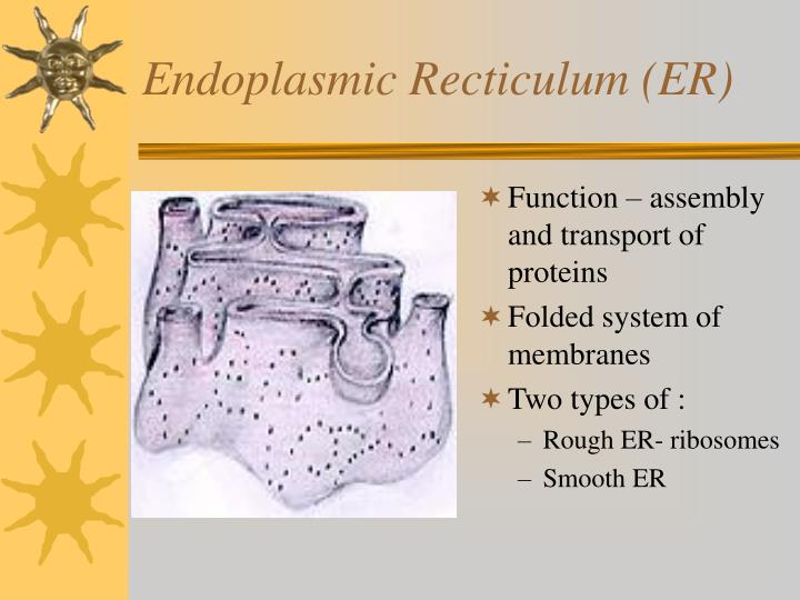 Endoplasmic Recticulum (ER)