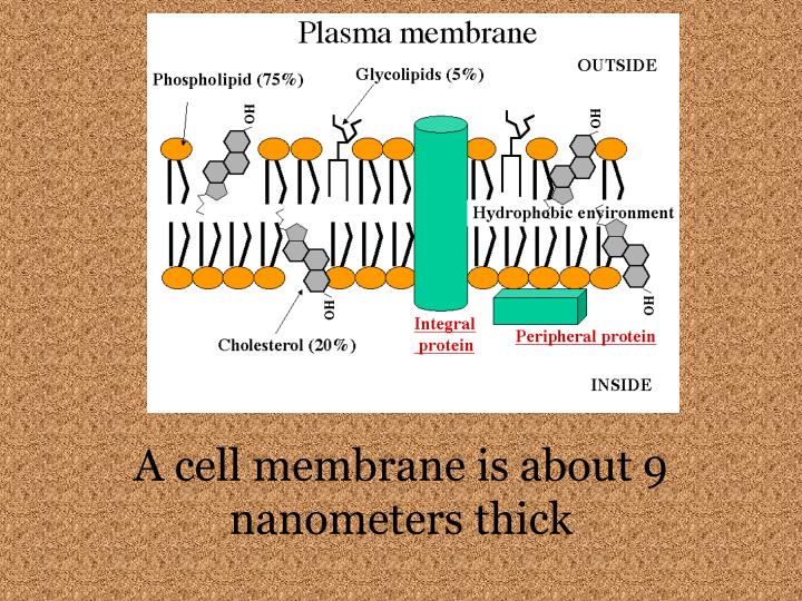 A cell membrane is about 9 nanometers thick
