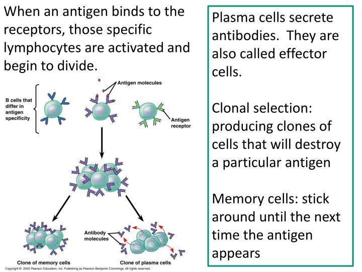 When an antigen binds to the receptors,