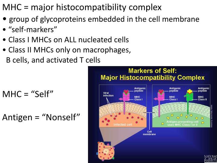 MHC = major