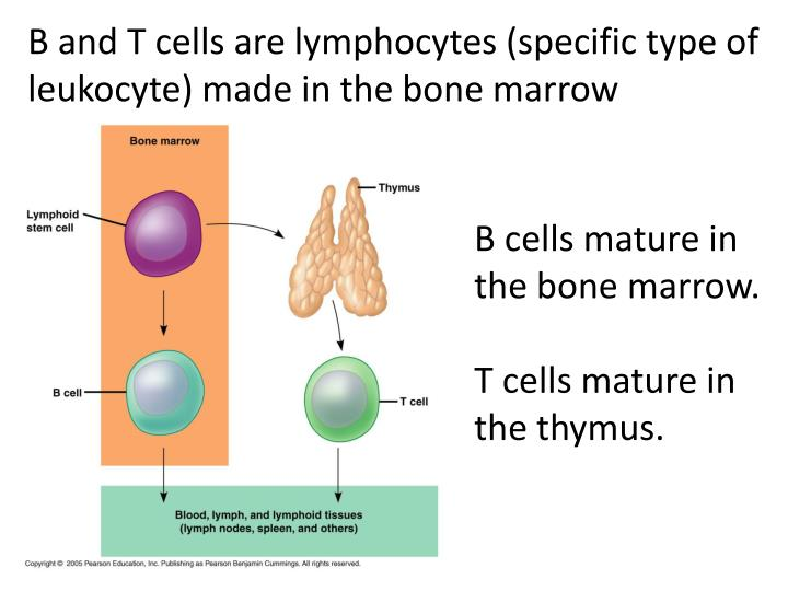 B and T cells are lymphocytes (specific type of leukocyte) made in the bone marrow