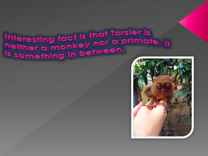 Interesting fact is that Tarsier is neither a monkey nor a primate. It is something in between.