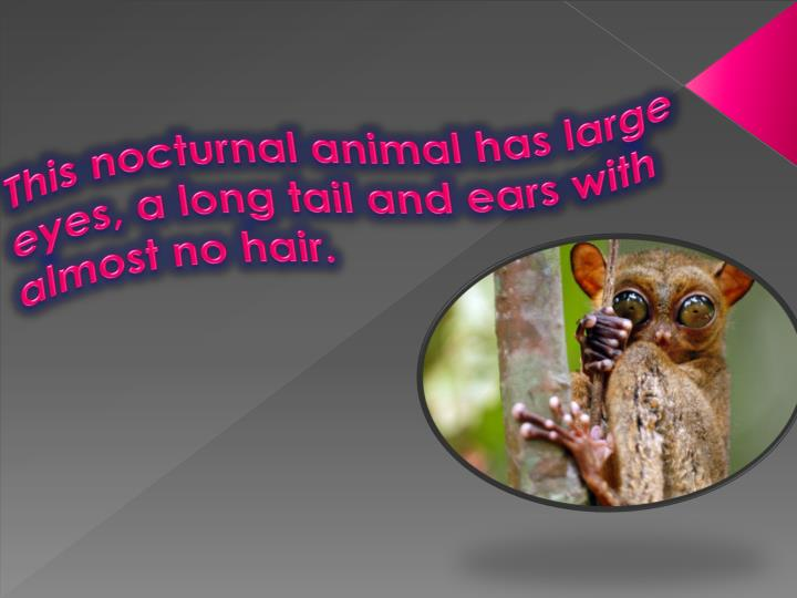 This nocturnal animal has large eyes, a long tail and ears with almost no hair.